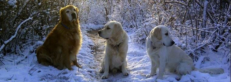 Northern Love British Style Golden Retrievers