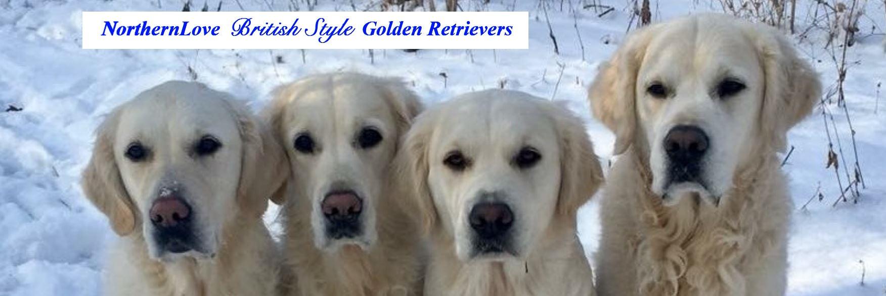 Northern Love British Style Golden Retrievers