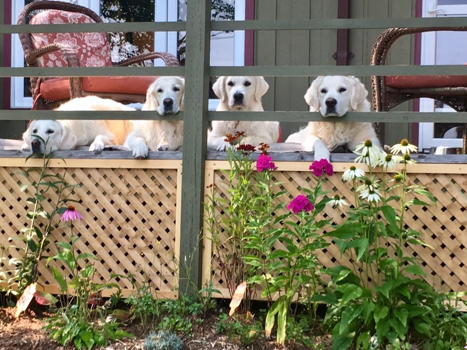 dogs on cottage deck