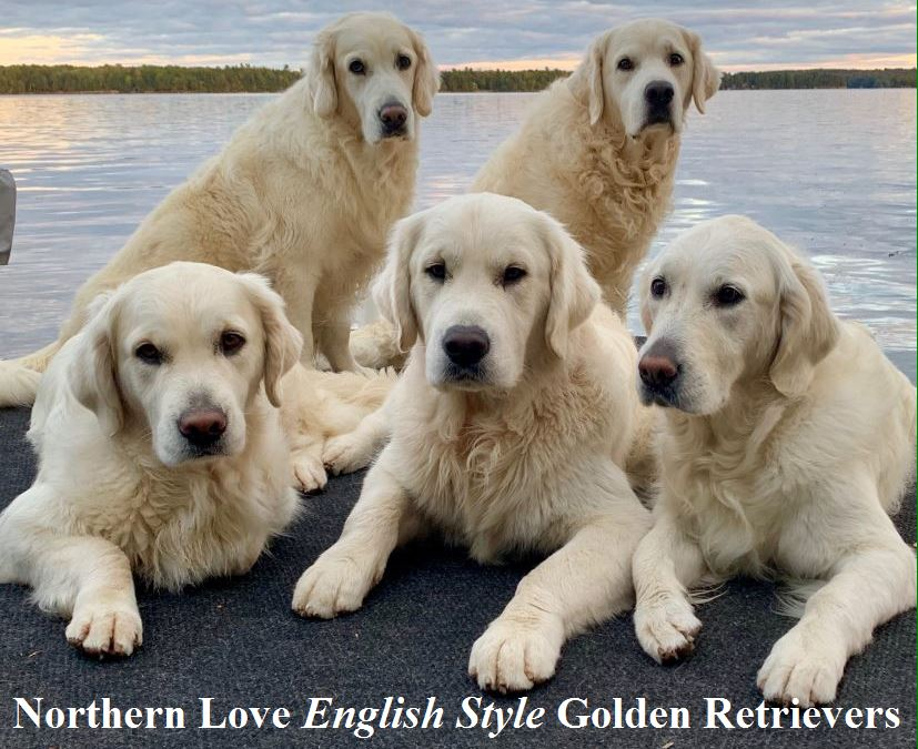 Northern Love English Style Golden Retrievers